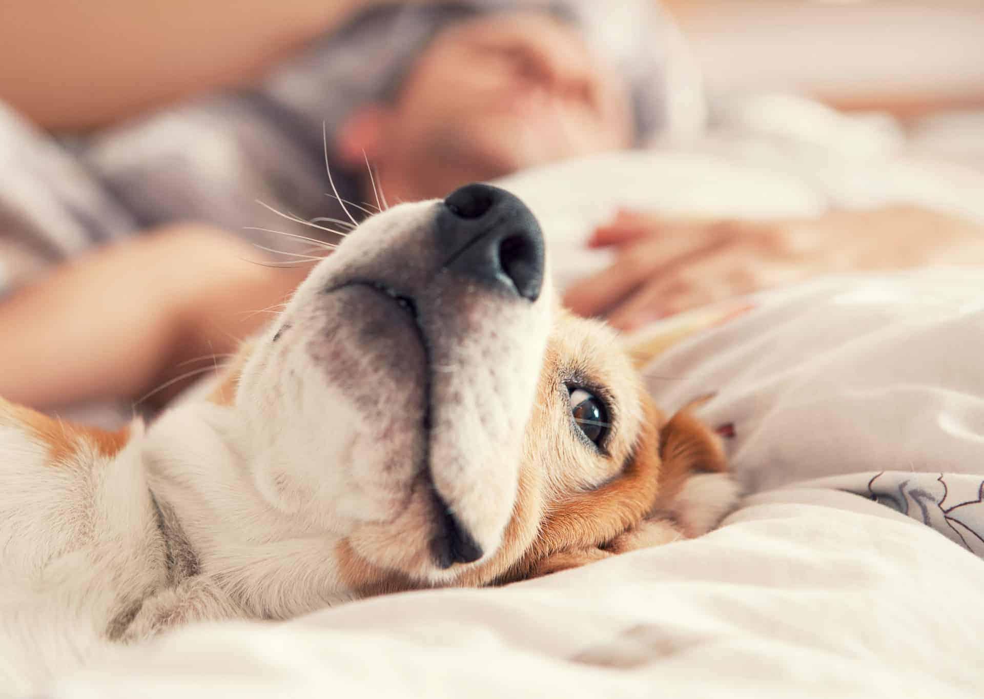 Beagle entspannt mit Halter im Bett
