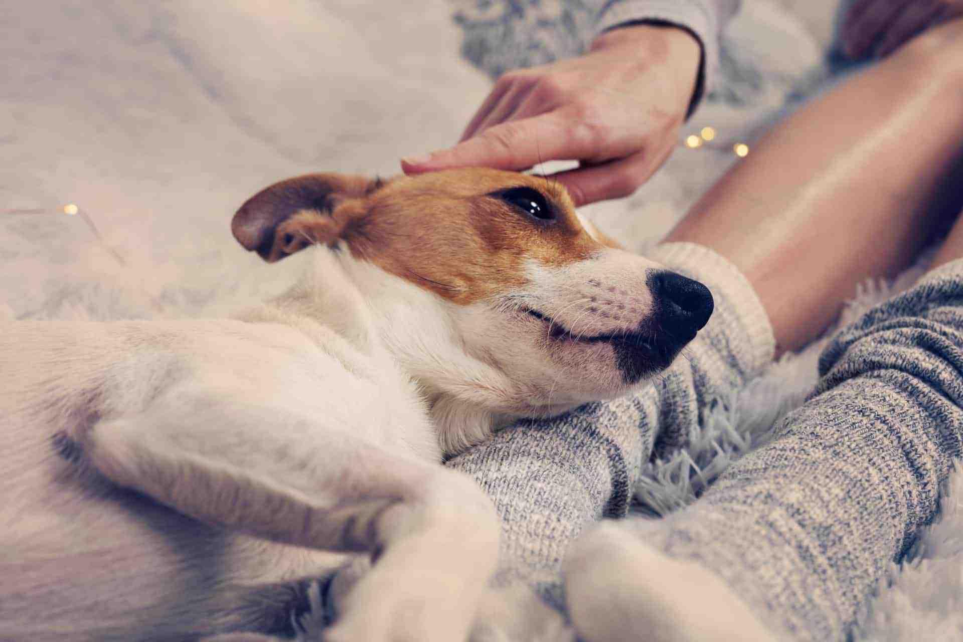 glücklich kuschelnder Hund sucht Körperkontakt auf Sofa