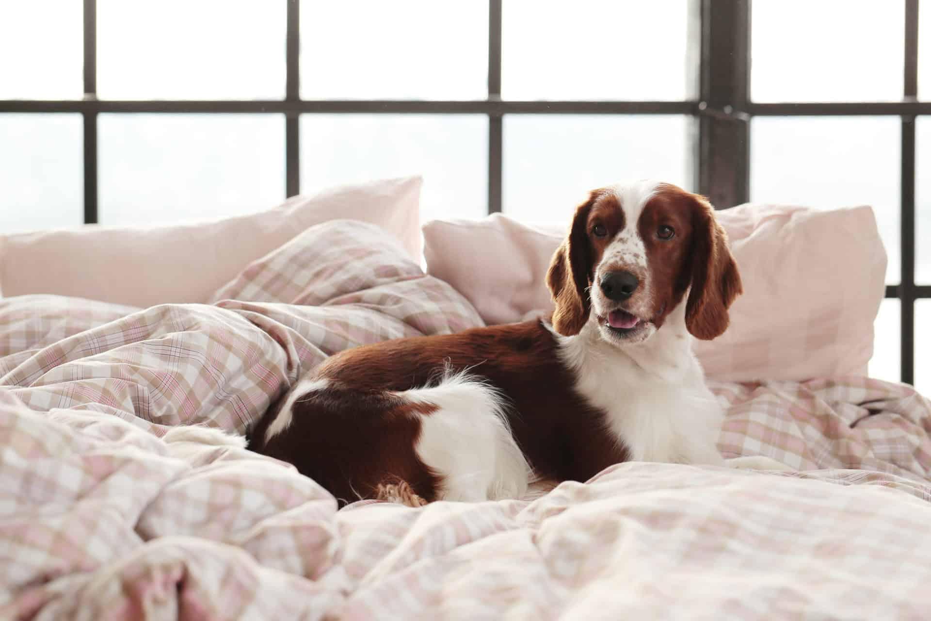 Hund liegt im Bett