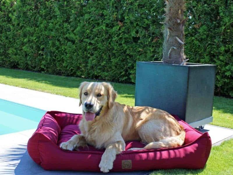 Hundebett Organic 95 Bordeaux mit Golden Retreiver