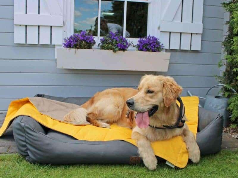 Hundedecke Organic 95 Gelb Schilf auf Hundebett mit Golden Retreiver