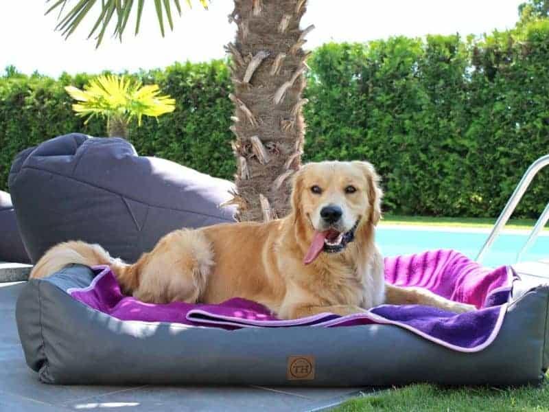 Lodendecke Pink Lila auf Hundebett mit Golden Retriever am Pool