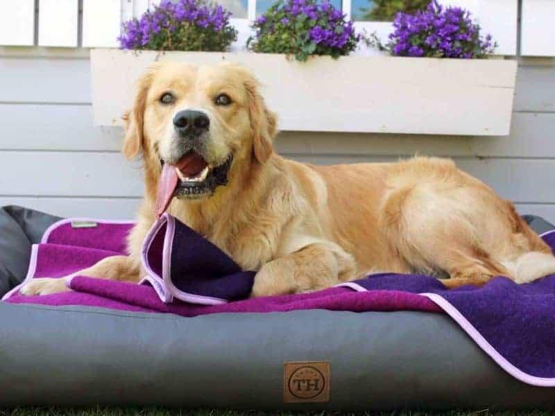 Lodendecke Pink Lila auf Hundebett mit Golden Retriever