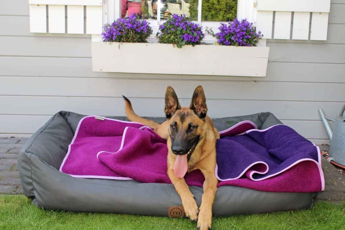 Lodendecke Pink Lila auf Hundebett mit Malinois