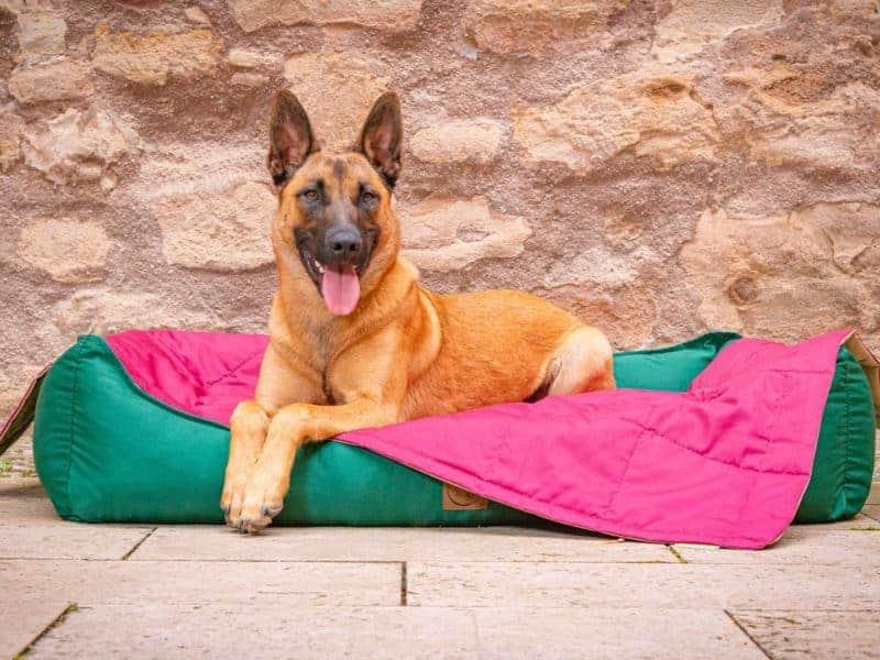 Hundebett Organic-95 in Tanne und Hundedecke Organic-95 in Bordeaux mit Malinois