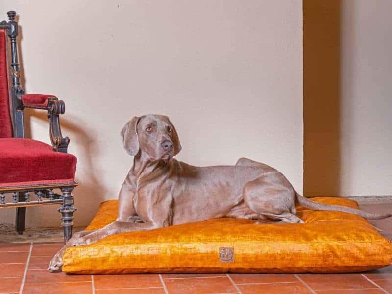 Hundekissen Vintage-Samt in Gold mit Weimaraner