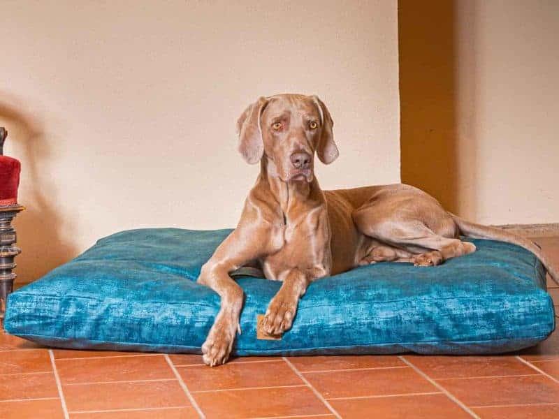 Hundekissen Vintage-Samt in Royal-Blau mit Weimaraner
