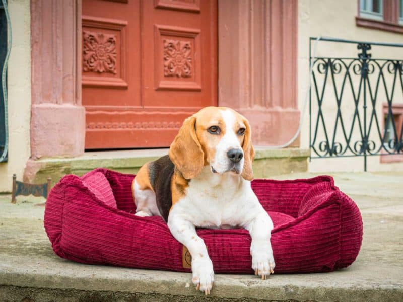 Hundebett Boheme in Bordeaux mit Beagle