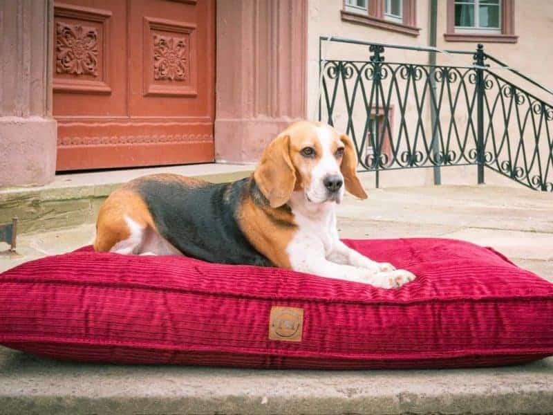 Hundekissen Boheme in Bordeaux mit Beagle