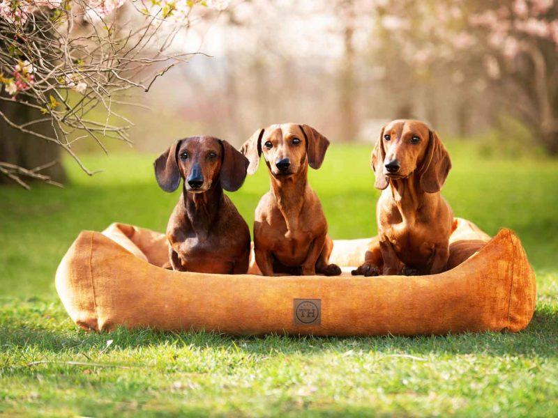 Hundebett Vintage-Samt Gold mit Dackel auf Rasen